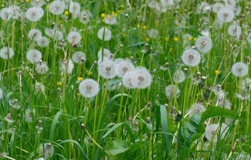Pole z dandelions zdjęcia royalty free