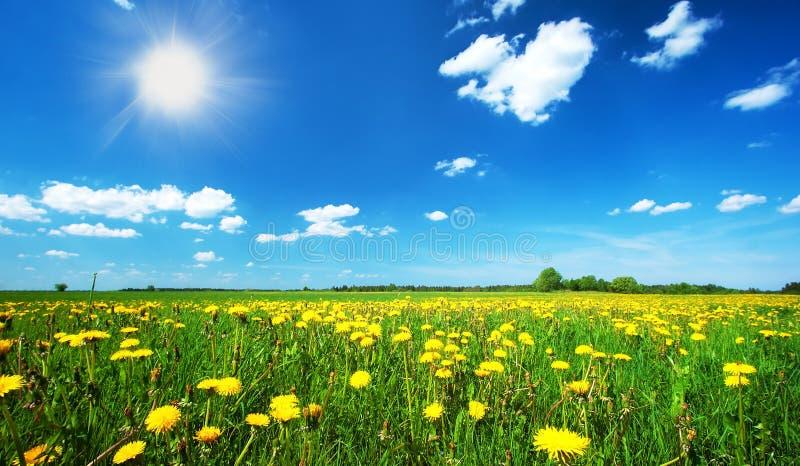 Pole z dandelions i niebieskim niebem zdjęcie stock
