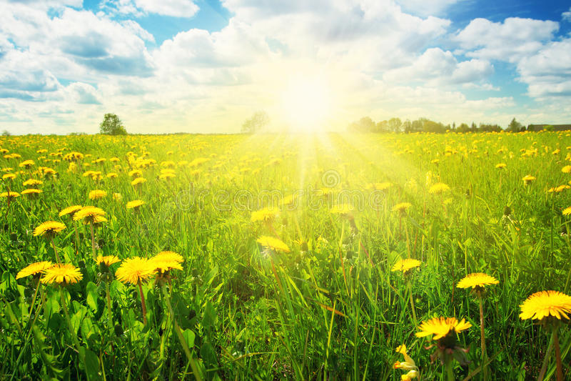 Pole z dandelions i niebieskim niebem zdjęcie royalty free