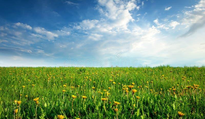 Pole z dandelions i niebieskim niebem obraz stock