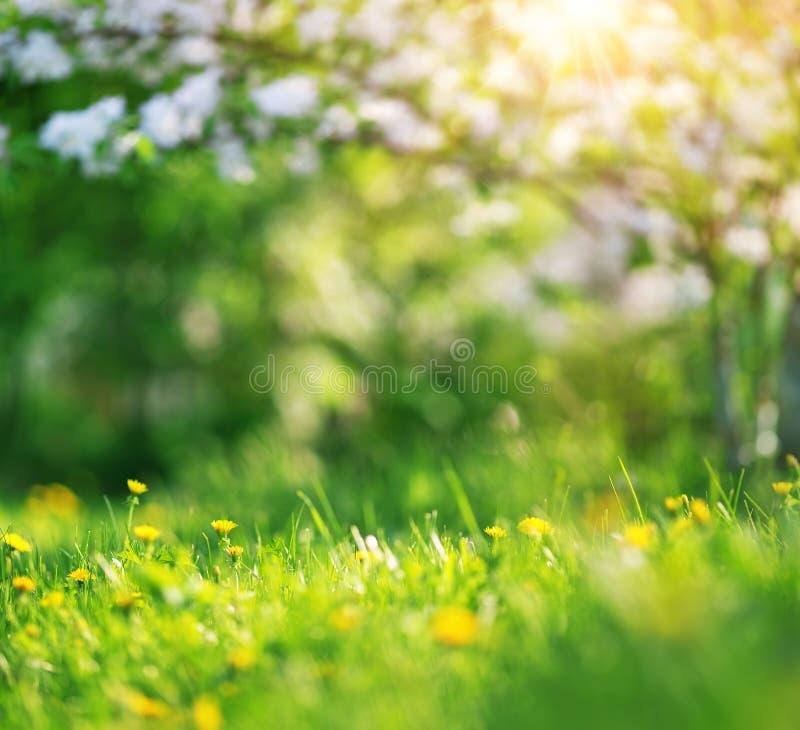Pole z dandelions Zbliżenie żółci wiosna kwiaty fotografia stock