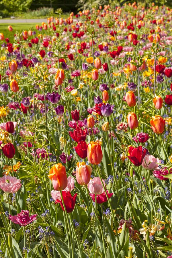 Pole z kolorowymi Holenderskimi tulipanami obraz stock