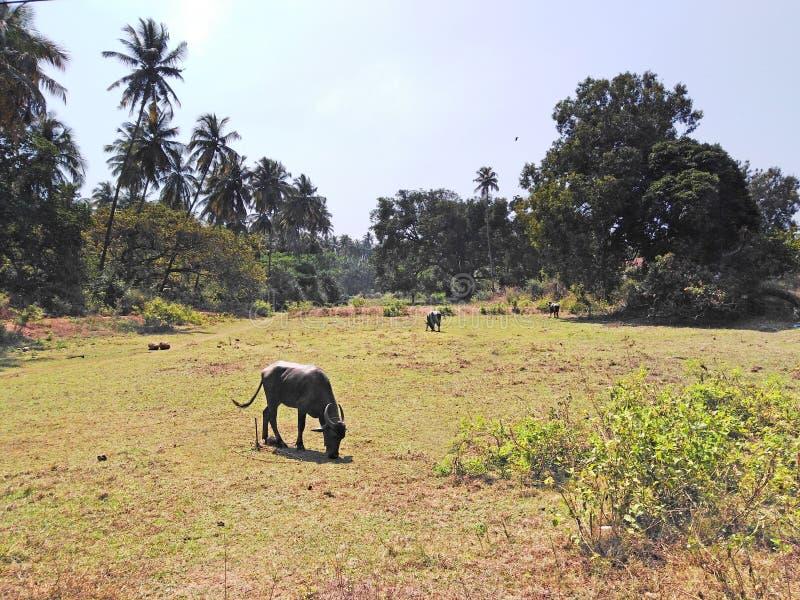 Pole z krowami w Goa, India obraz royalty free