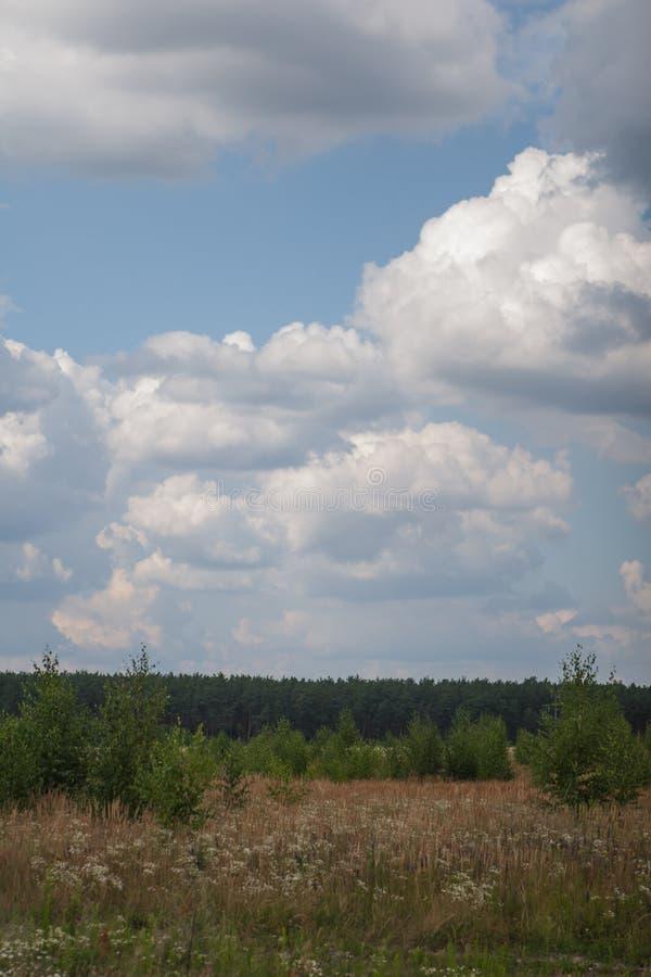 pole z młodymi narastającymi brzozami i śródpolnymi białymi kwiatami, pastelowa trawa na tle sosnowy las z chmurami przeciw błęki zdjęcie stock
