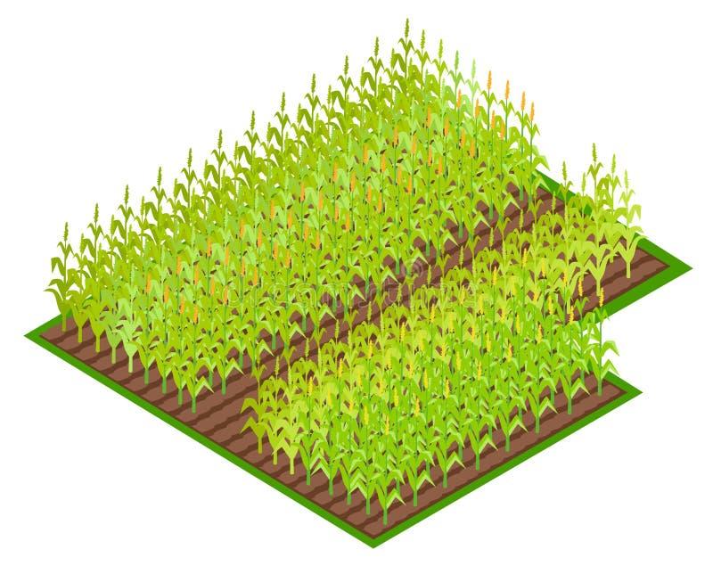 Pole z Narastającą Kukurydzaną uprawy VectoI ilustracją ilustracji