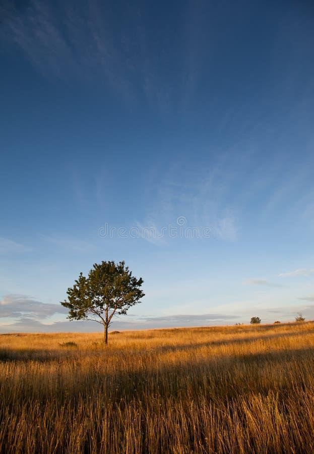Pole z osamotnionym drzewem fotografia stock