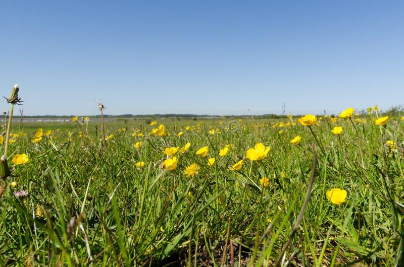 Pole z pięknym żółtym jaskieru zbliżeniem wiosną zdjęcia royalty free