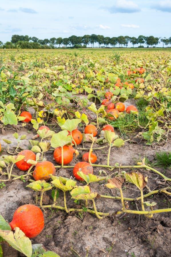 Pole z zbierać pomarańczowymi baniami z rzędu obraz royalty free