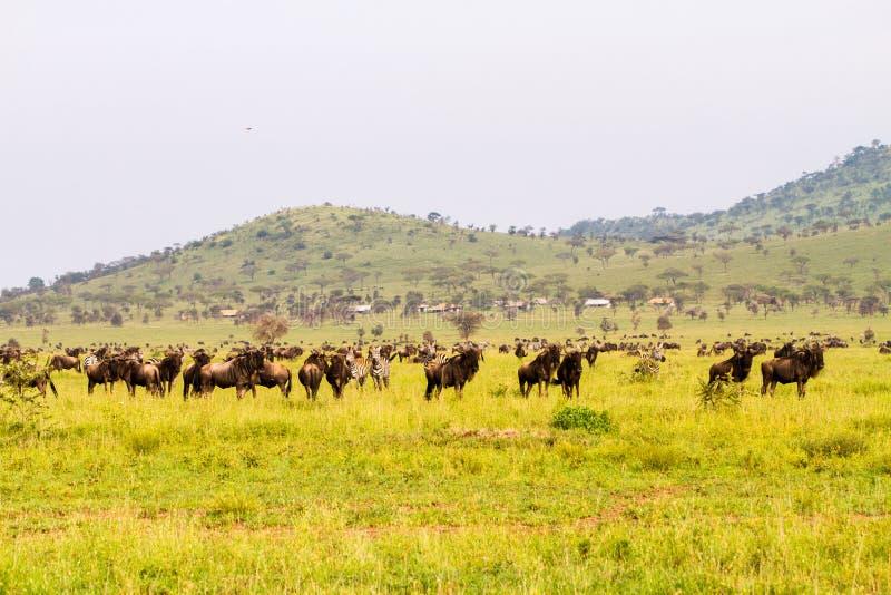 Pole z zebrami i błękitnym wildebeest obraz stock