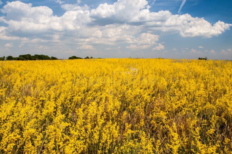Pole zakrywający z kolorów żółtych kwiatami i chmurnym niebieskim niebem zdjęcia stock