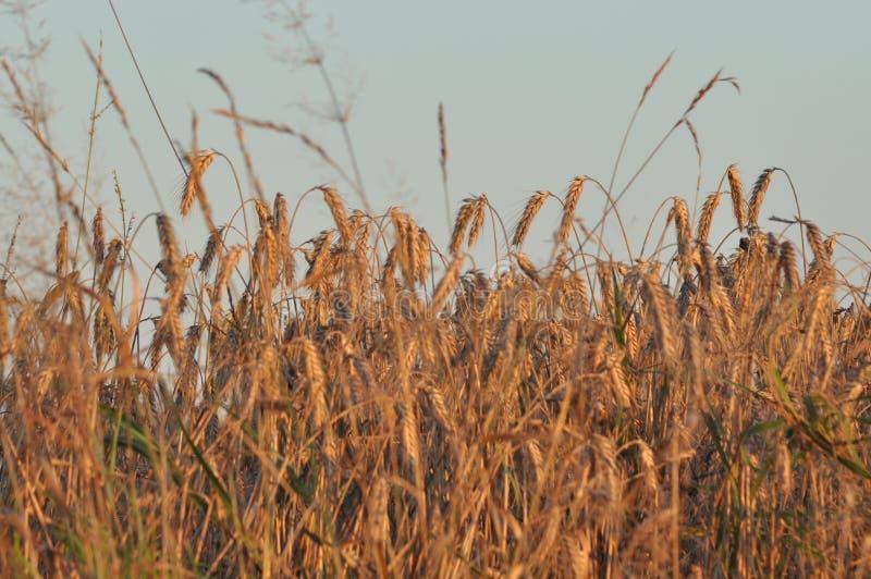 pole ziarna Dojrzenie ucho Zbiera i groszkuje w mąkę obraz stock