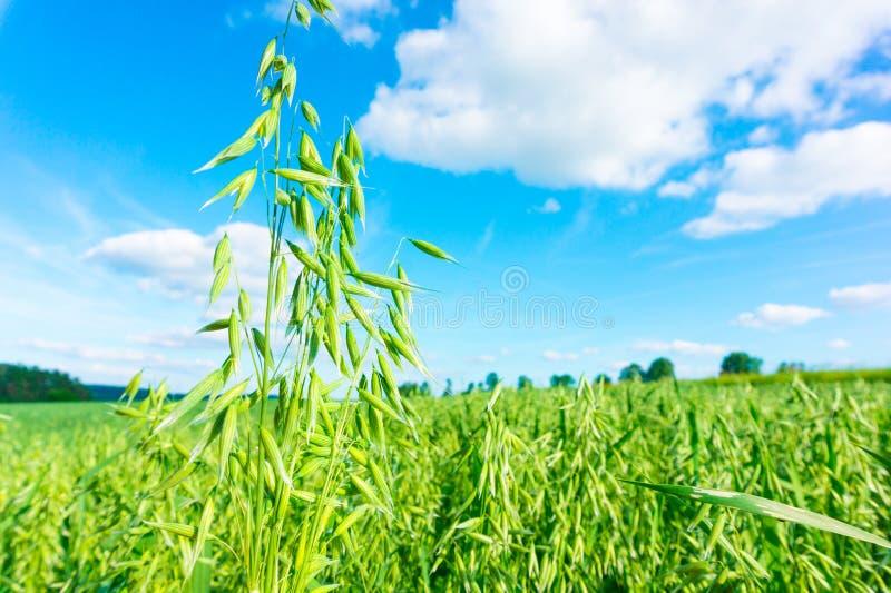Pole zieleni owsy obrazy stock