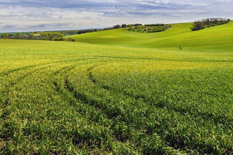 Pole zieleni zbożowy i chmurny niebieskie niebo obraz stock