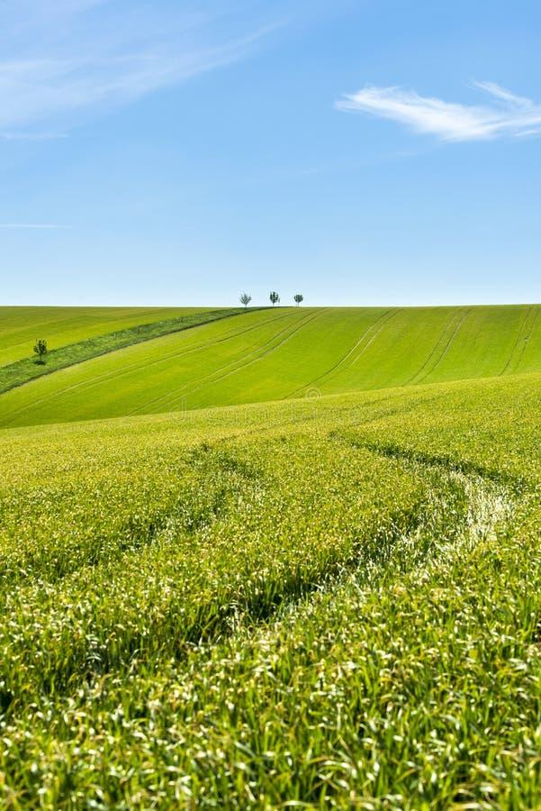 Pole zieleni zbożowy i chmurny niebieskie niebo fotografia stock
