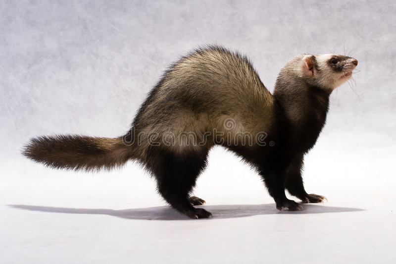 Download Polecat stock image. Image of polecat, whiskers, predator - 8792991