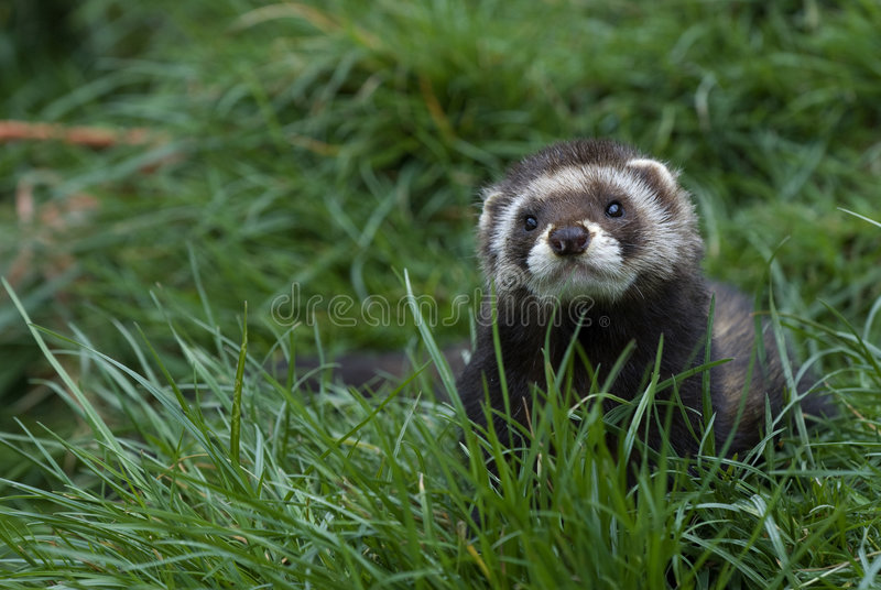 Polecat in grass stock photography