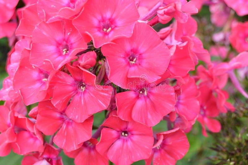 Polemonio rosado de la inflorescencia, fondo floral hermoso, jardín del verano fotografía de archivo libre de regalías