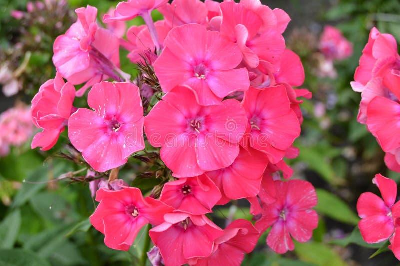 Polemonio rosado de la inflorescencia, fondo floral hermoso, jardín del verano foto de archivo