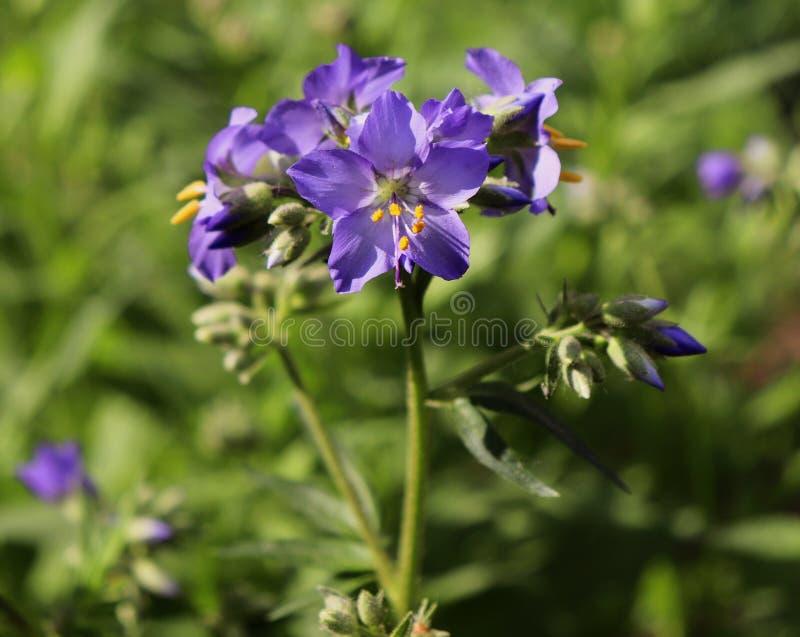 Polemonium azul da escada do ` s de Jacob da flor, flor cultivada O crescimento de flor da escada do ` s de Jacob em um jardim or fotos de stock