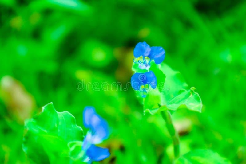 Polen azul del amarillo de la flor del dayflower de Benghal en el jardín fotografía de archivo