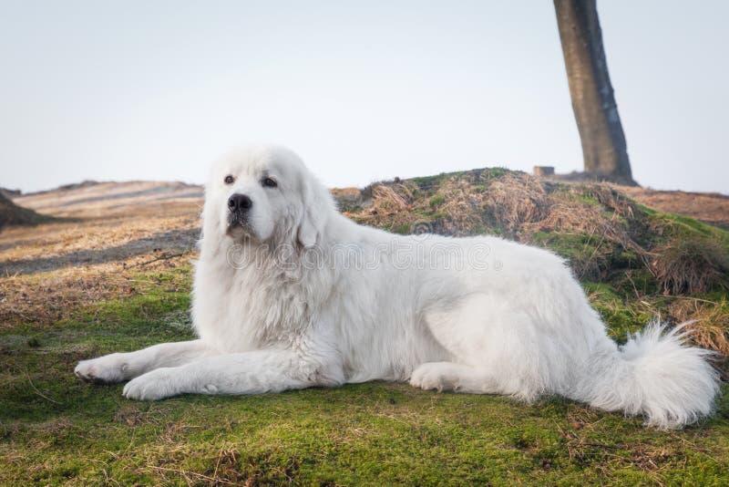 Poleruje Tatrzańskiego Sheepdog Wzorzec międzynarodowy w swój trakenie Także znać jako Podhalan zdjęcia stock