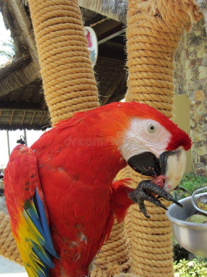 Poli pappagallo fotografia stock libera da diritti