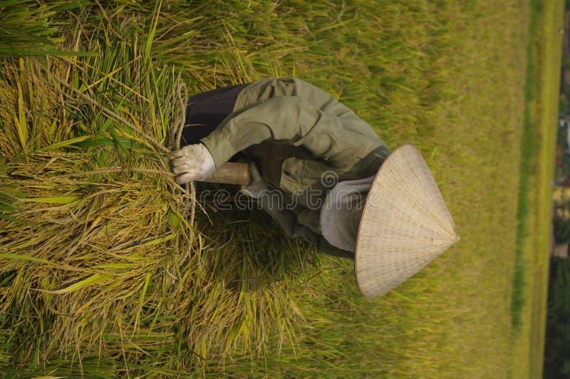 Polias carreg da mulher do arroz. fotografia de stock