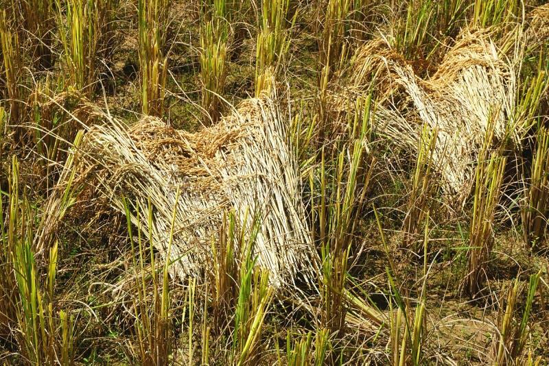 Polias cortadas frescas do arroz entre o restolho em um campo do arroz em Laos rural imagem de stock