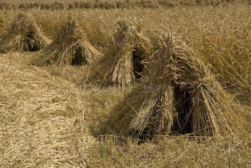 Polias do trigo em uma fileira imagem de stock royalty free