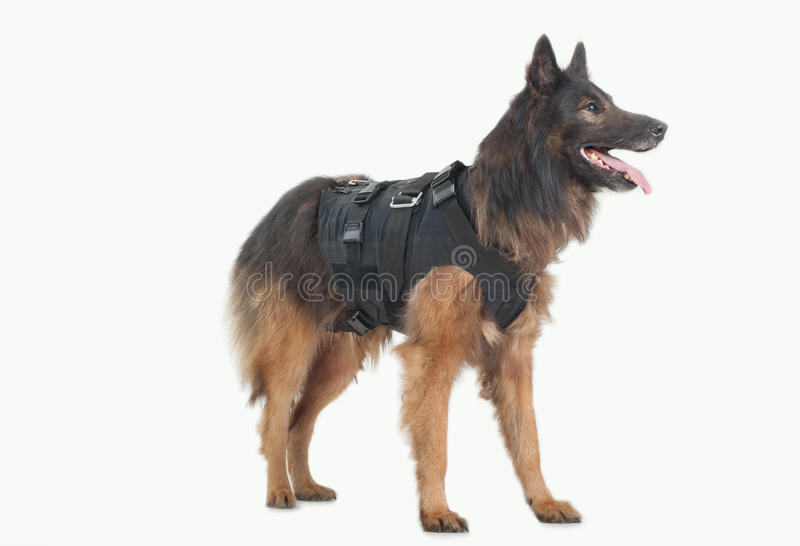 Police dog. With bulletproof vest stock photo