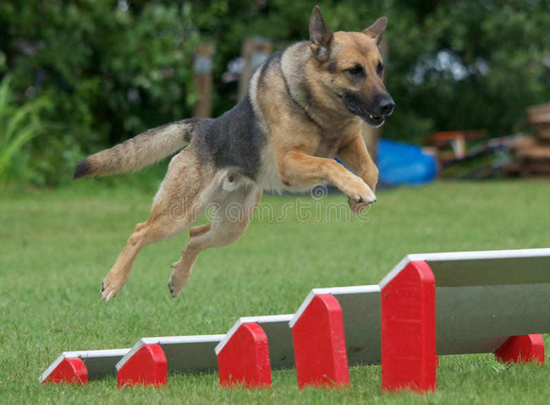 Police dog. In training over the jumps royalty free stock photography