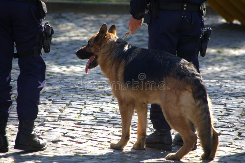 Police dog. German shepherd trained as police dog royalty free stock images