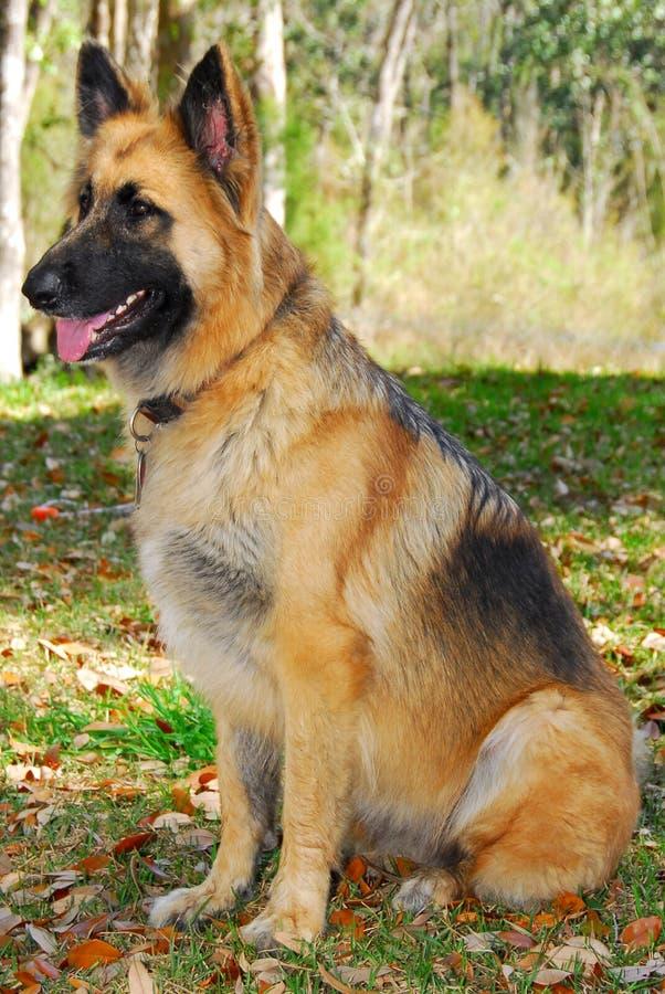 Police dog on alert royalty free stock photos