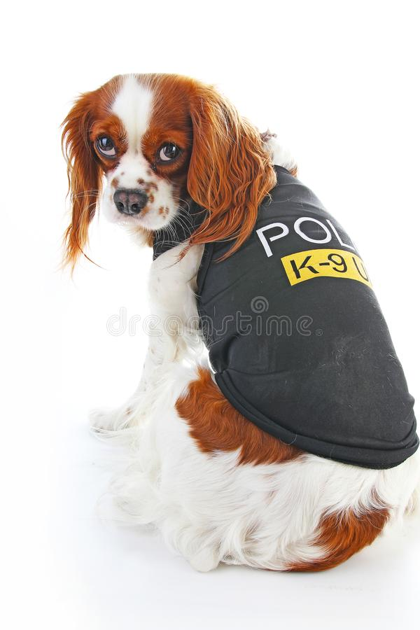 Police dog. Cute K9 cavalier king charles spaniel pet photo. Police dog on isolated white background. Cute royalty free stock photos