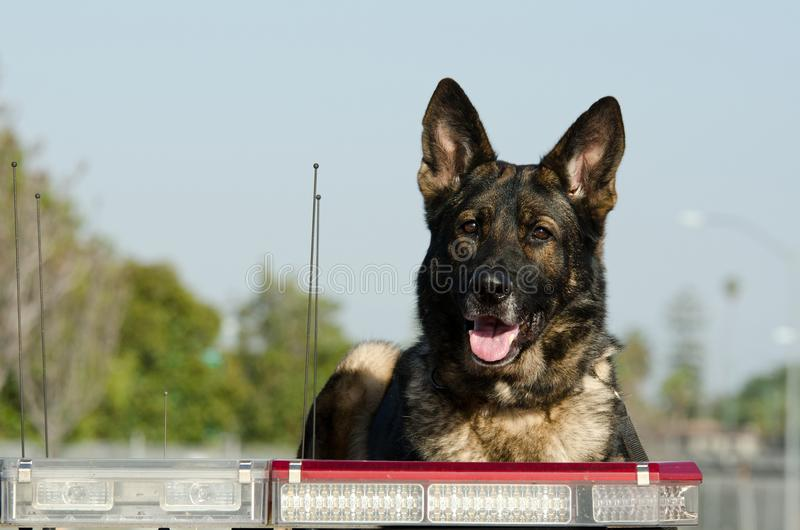 Police Dog. A German Shepherd Police dog sits on top of his patrol car looking alert royalty free stock image