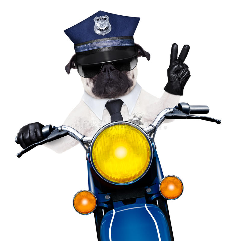 Police dog motorbike. Pug police dog on motorbike patrolling the street with peace or victory finger wearing cool sunglasses isolated on white background royalty free stock photography