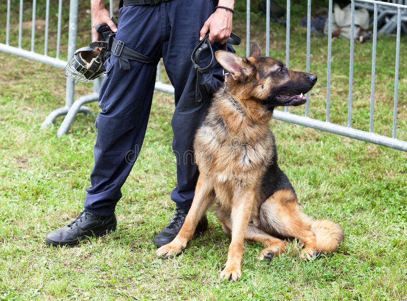 Police dog. Police officer with the german shepherd police dog stock image