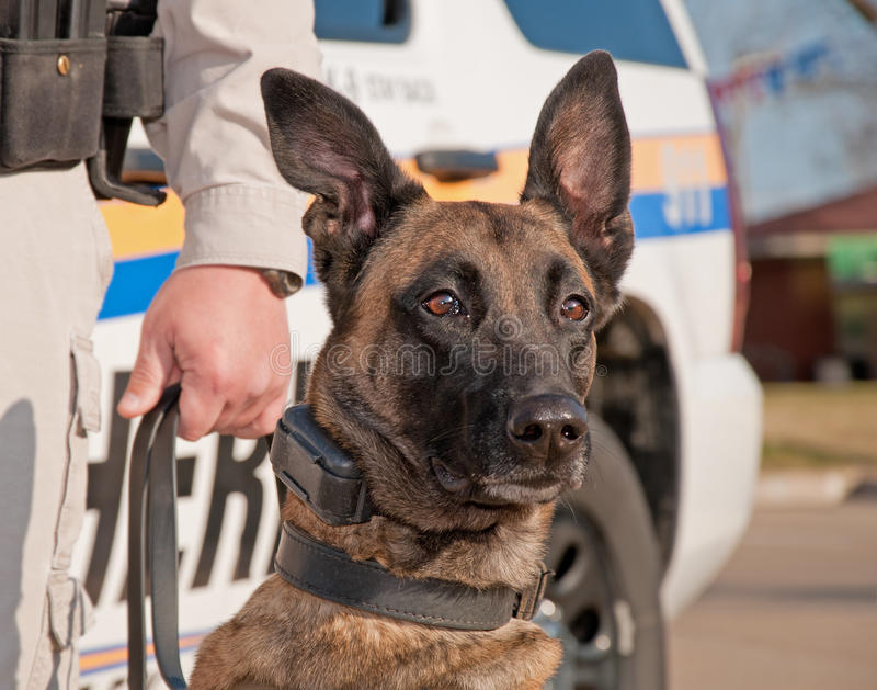 Police dog ready for work. With patrol car on the background stock photography