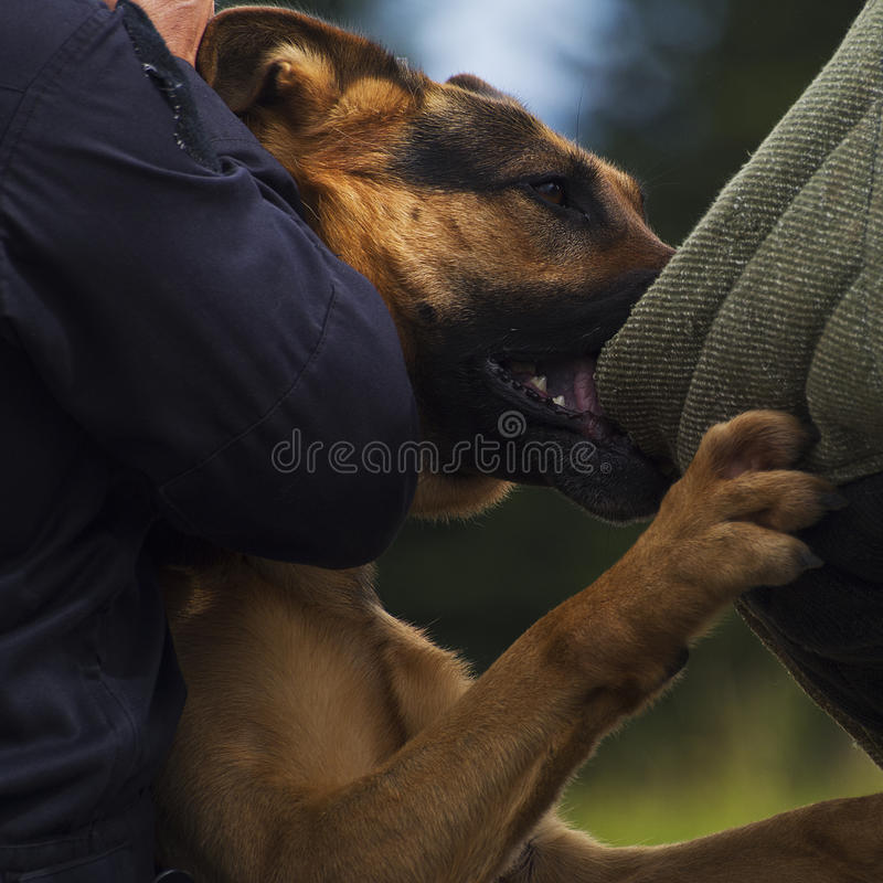 Police dog. Smart police dog working with the police in action catching a criminal royalty free stock photography
