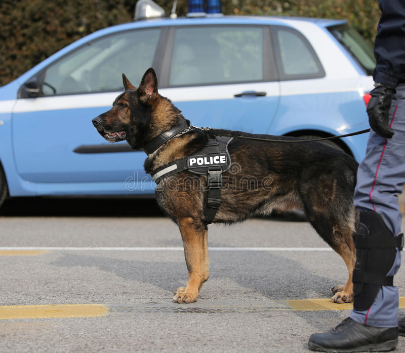 Police dog to hunt down drug dealers or to detect explosives. In the city stock image