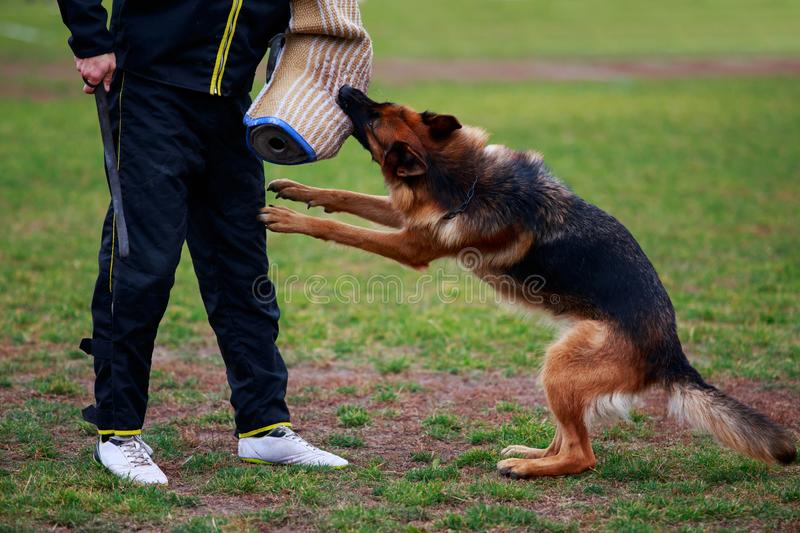 Training a guard dog. The police dog training to attack criminals stock photography