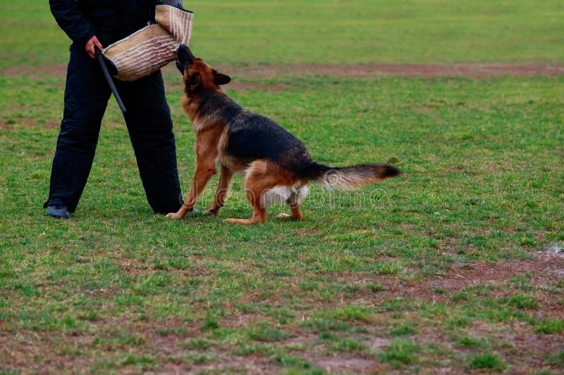 Training a guard dog. The police dog training to attack criminals royalty free stock images