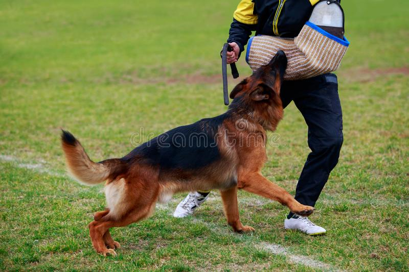 Training a guard dog. The police dog training to attack criminals royalty free stock photography