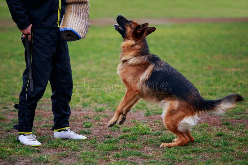 Training a guard dog. The police dog training to attack criminals royalty free stock photos