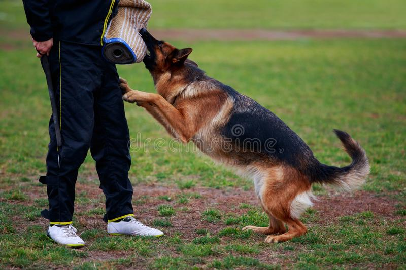 Training a guard dog. The police dog training to attack criminals stock photo