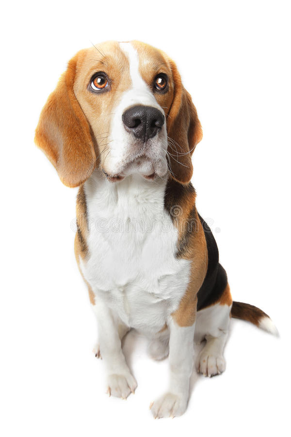 Police drugs sniffer dog. Police drugs sniffer Beagle dog on white background royalty free stock photos