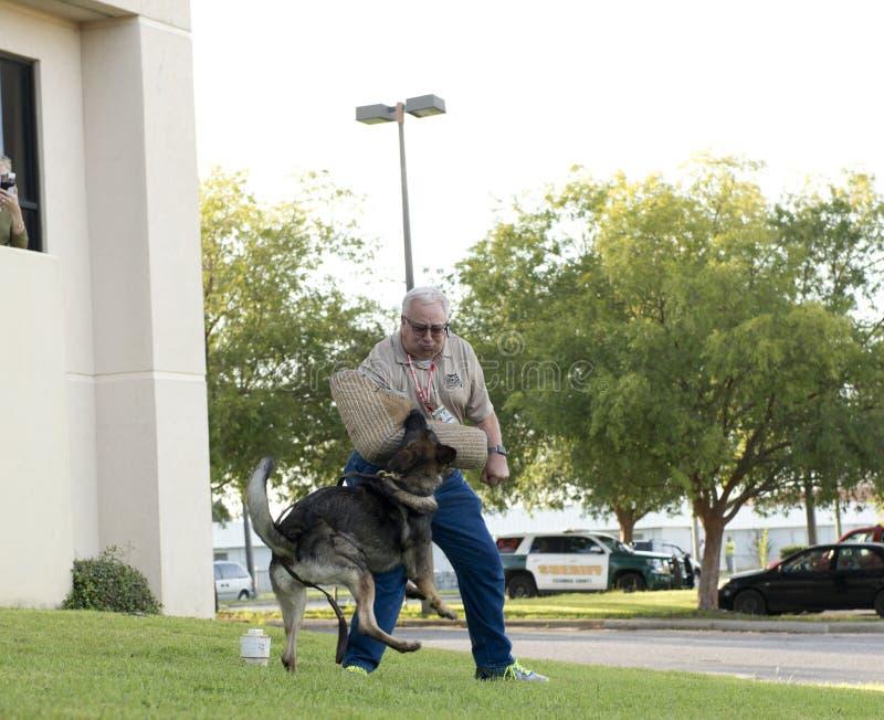 Police K-9 Dog attacks Handler during Demonstration. Police K-9 Demonstration at Escambia County Sheriff in Pensacola, Florida royalty free stock photos