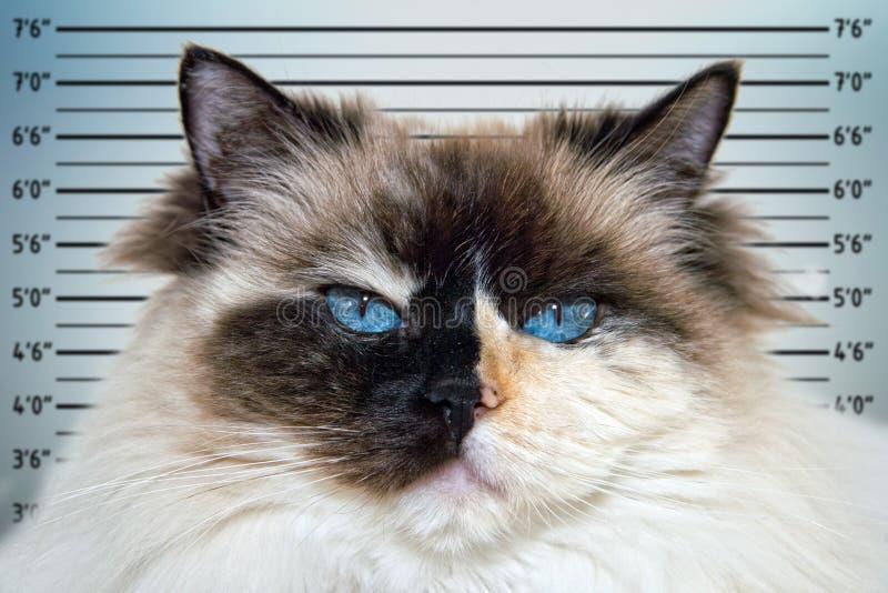 Police mugshot line up of Blue Eyes white and black ragdoll cat portrait. Blue Eyes white and black ragdoll cat portrait police mugshot line up stock photo