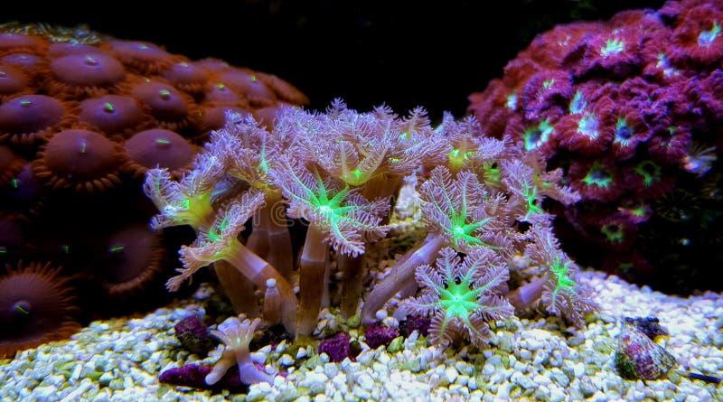 Poliep van de Clavularia de Zachte Handschoen - Clavularia SP stock afbeelding