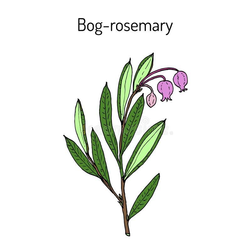 polifolia do Andromeda dos Pântano-alecrins, planta medicinal ilustração royalty free